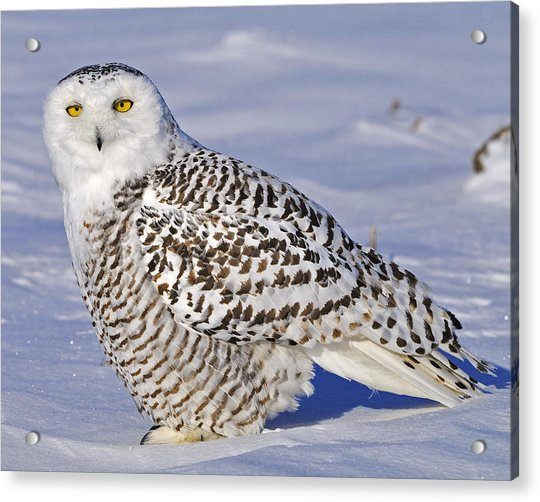 Young Snowy Owl Acrylic Print