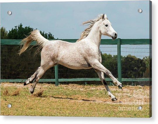 Arabian Horse Running Acrylic Print