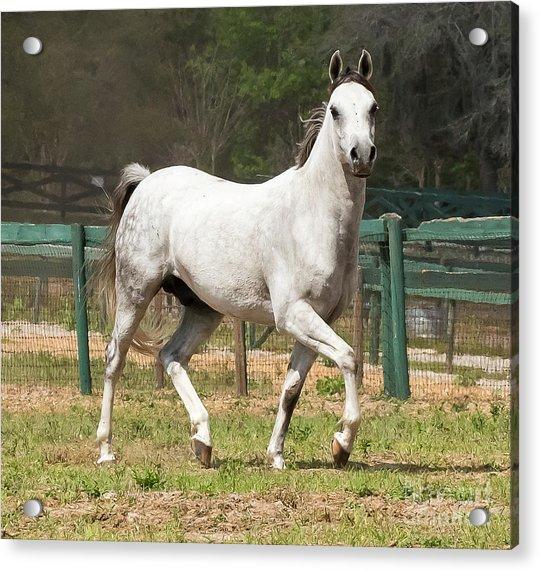 Arabian Horse Acrylic Print