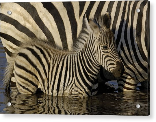 Burchells Zebra Equus Burchellii Foal Acrylic Print