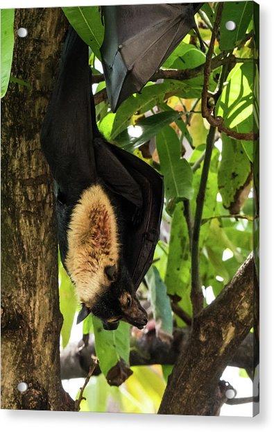 Fruit Bat Acrylic Print
