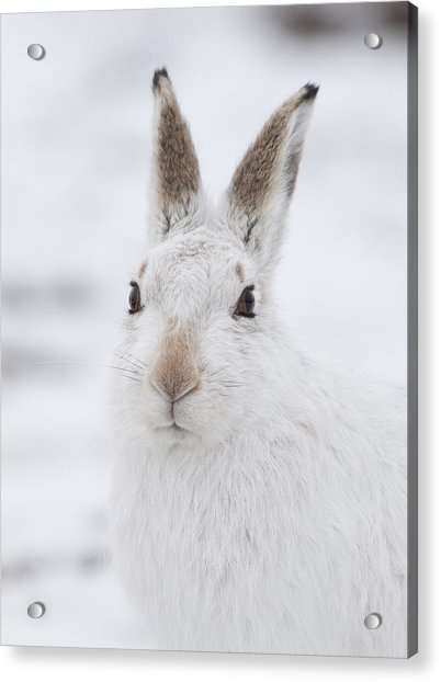 Mountain Hare In The Snow - Lepus Timidus  #1 Acrylic Print