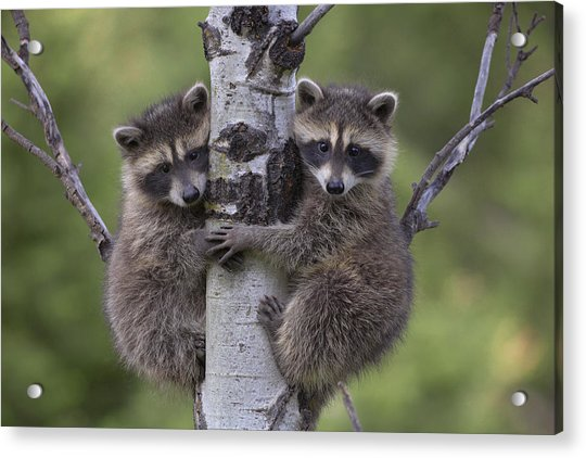 Raccoon Two Babies Climbing Tree North Acrylic Print