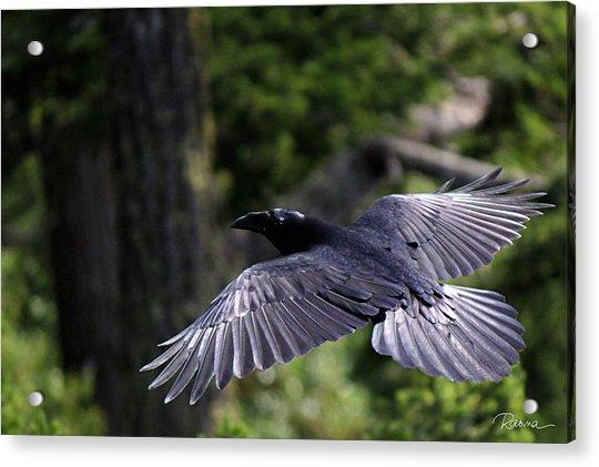 Raven Flight Acrylic Print