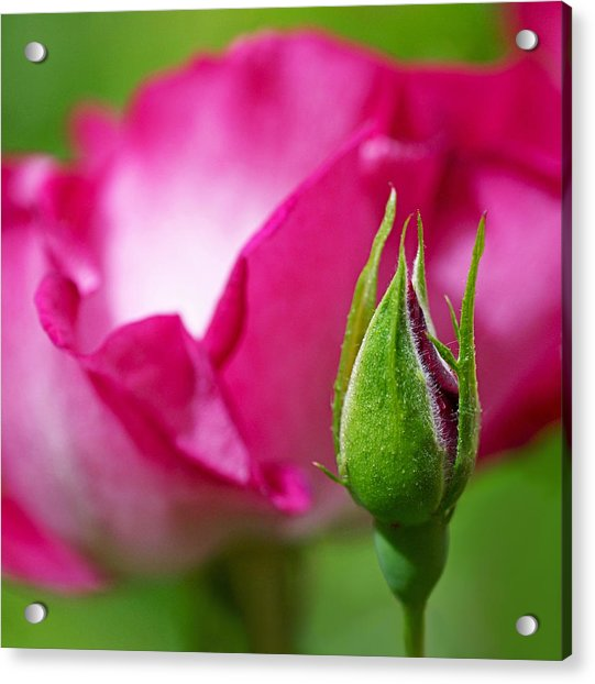 Acrylic Print featuring the photograph Budding Rose by Rona Black