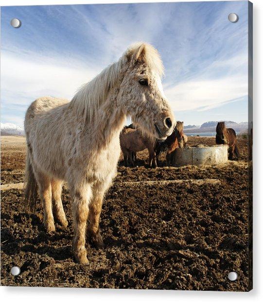 Smiling Icelandic Horse Acrylic Print