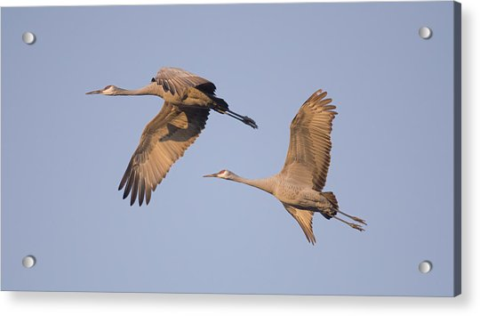 Two Together Acrylic Print