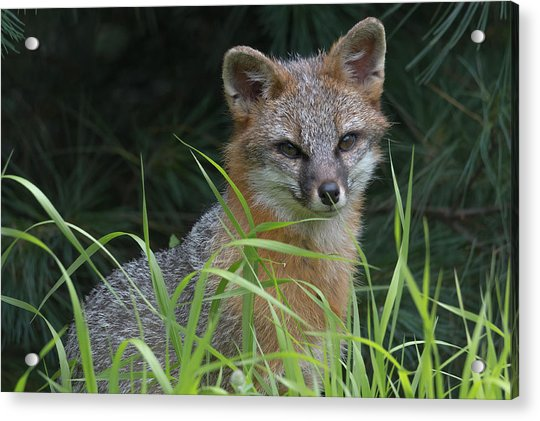 Gray Fox In The Grass Acrylic Print