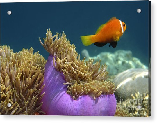 Acrylic Print featuring the photograph Maledives Clown Fish by Juergen Held
