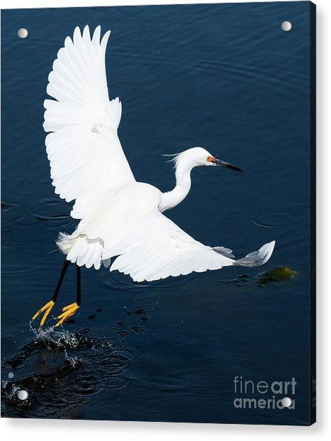 Snowy White Egret Acrylic Print