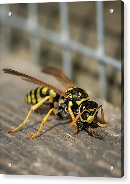 A European Paper Wasp Collecting Wood For Nest Acrylic Print
