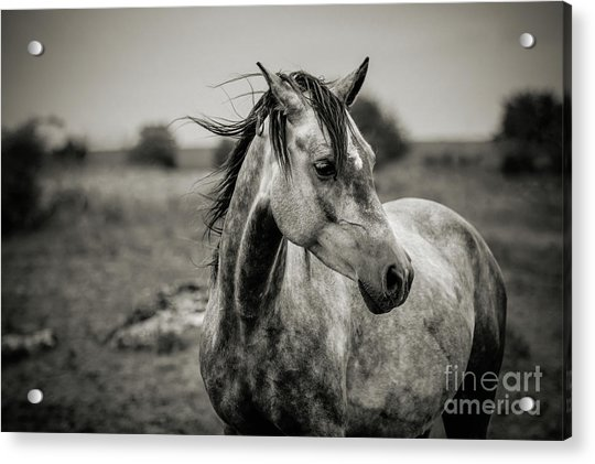 A Horse In Profile In Black And White Acrylic Print