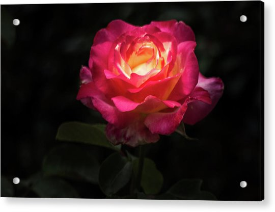 A Rose For Love Acrylic Print