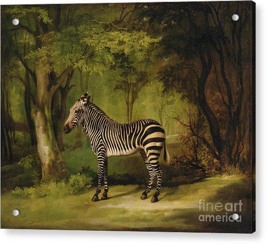 A Zebra Acrylic Print