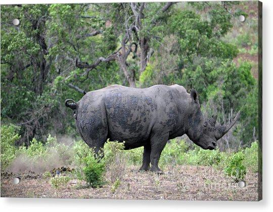 African Safari Naughty Rhino Acrylic Print
