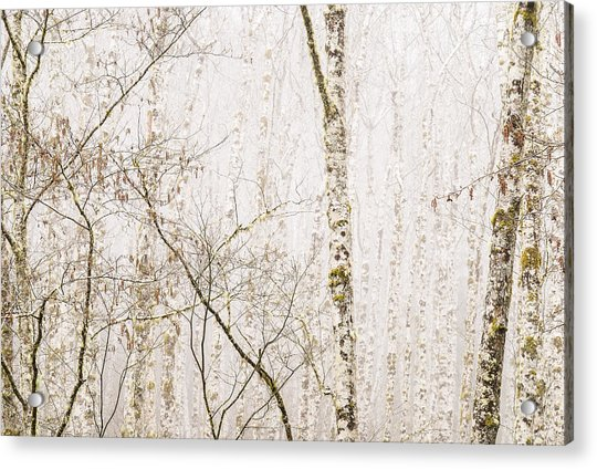 Alders In The Fog Acrylic Print
