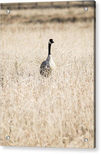 Alone In The Field Acrylic Print