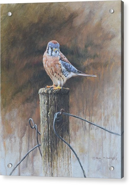 Acrylic Print featuring the painting American Kestrel by Alan M Hunt