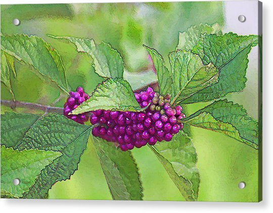 American Beautyberry Acrylic Print