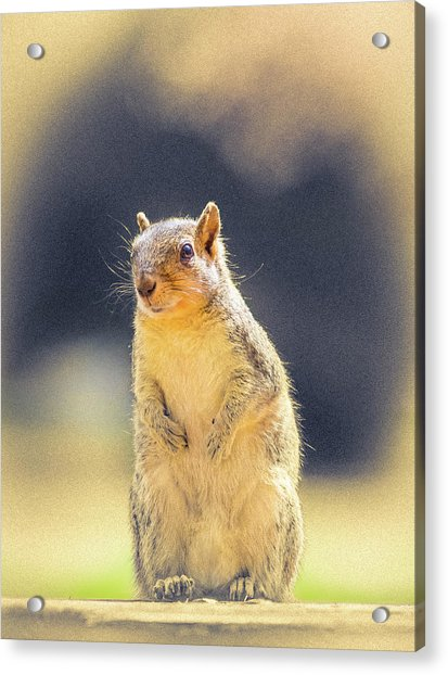 American Red Squirrel Acrylic Print