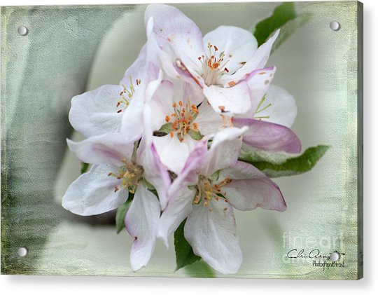 Apple Blossoms From My Hepburn Garden Acrylic Print
