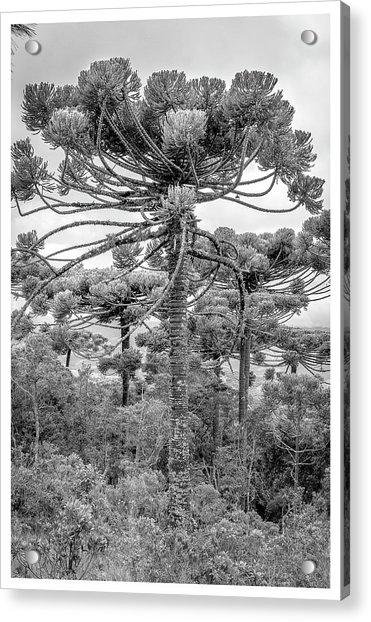 Araucaria Angustifolia-curi-campos Do Jordao-sp Acrylic Print