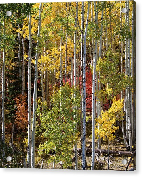 Aspen And Red Maple Acrylic Print