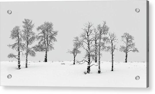 Aspen Tree Line-up Acrylic Print