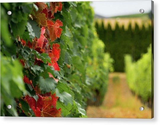 Autumn Comes To The Vineyard Acrylic Print