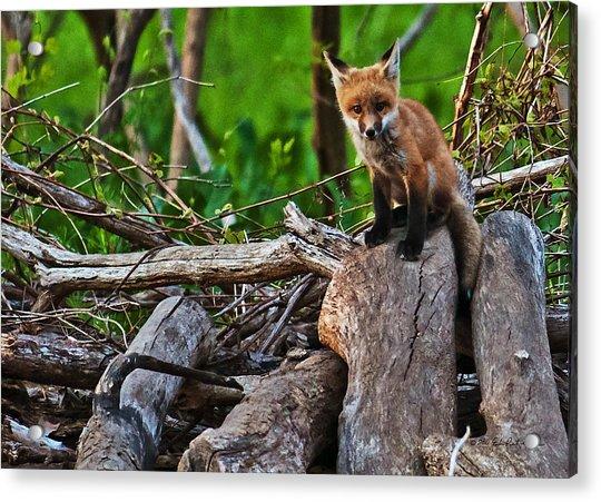 Baby Fox Acrylic Print