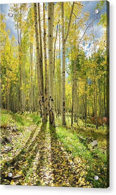 Backlit Aspen Trail Acrylic Print