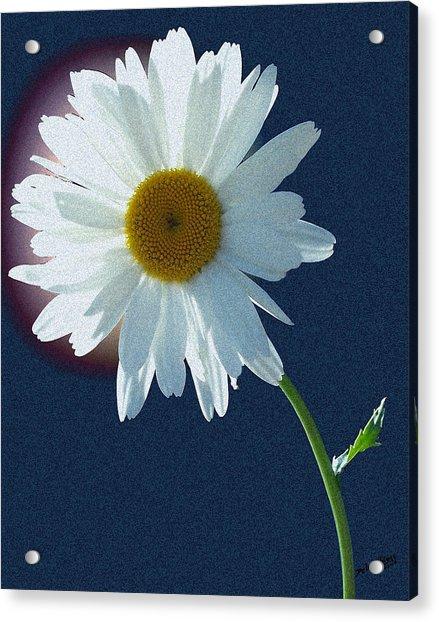 Backlit Daisy Acrylic Print