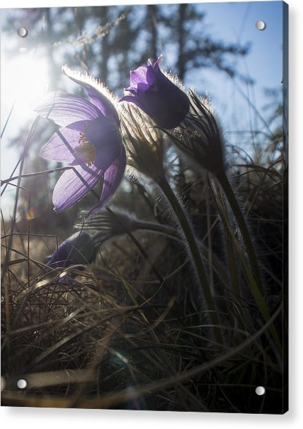 Backlit Pasque Flowers Acrylic Print