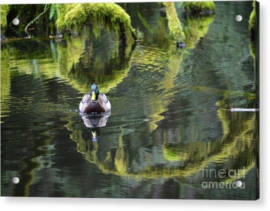 Bainbridge Duck Acrylic Print