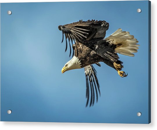 Bald Eagle Flight 1 Acrylic Print