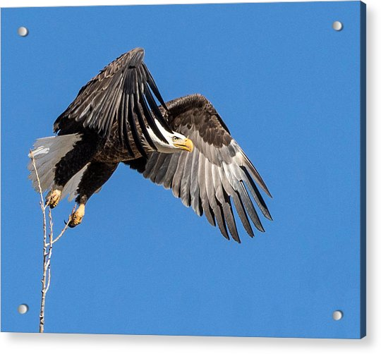Bald Eagle Flight 3 Acrylic Print