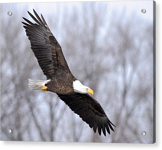 Bald Eagle In Flight Acrylic Print