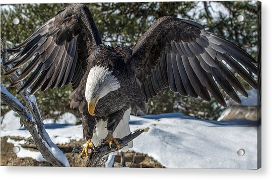 Bald Eagle Spread Acrylic Print