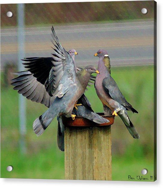 Band-tailed Pigeons #1 Acrylic Print