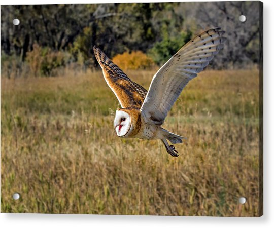 Barn Owl Flight 6 Acrylic Print