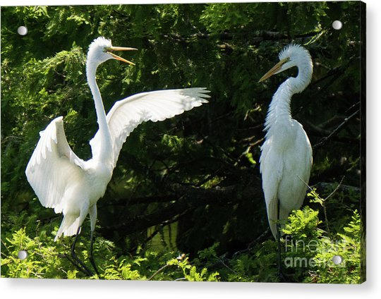 Battle Of The Egrets Acrylic Print