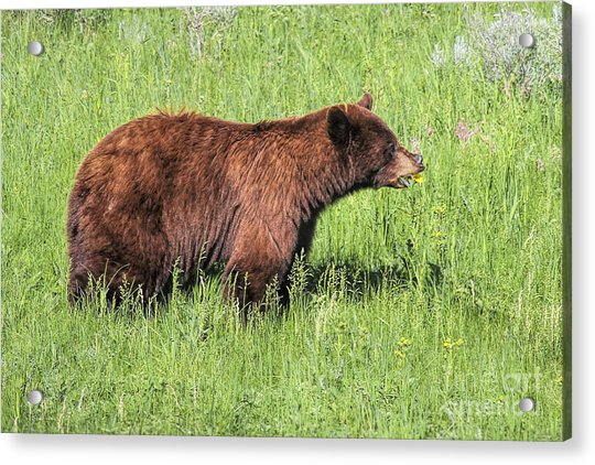 Acrylic Print featuring the photograph Bear Eating Daisies by Jemmy Archer