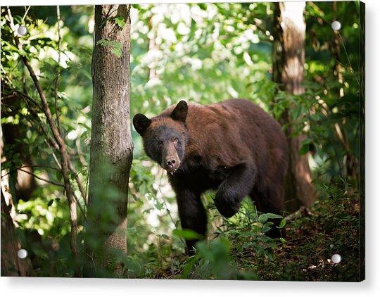Bear In The Woods Acrylic Print