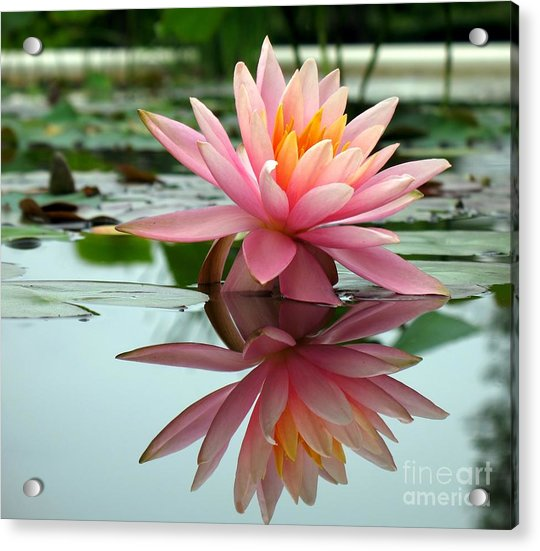 Beautiful Water Lily In A Pond Acrylic Print
