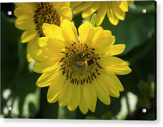 Bee's Work Is Never Done Acrylic Print
