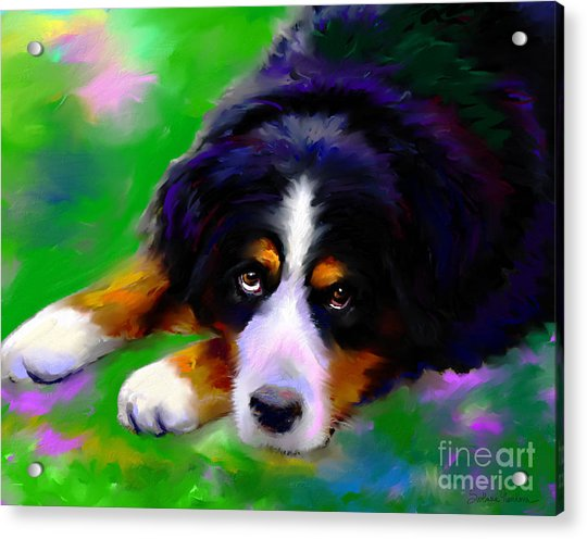Bernese Mountain Dog Portrait Print Acrylic Print