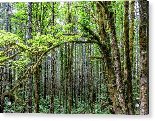 Big Leafe Maples Acrylic Print
