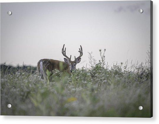 Big Meadow Deer Acrylic Print by Michael Donahue