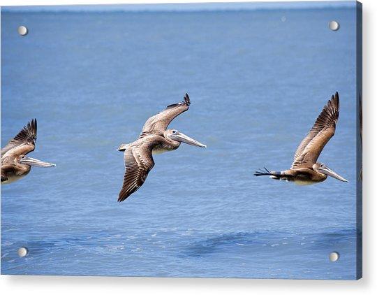 Birds 1039 Acrylic Print
