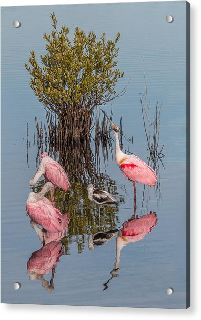 Birds, Reflections, And Mangrove Bush Acrylic Print